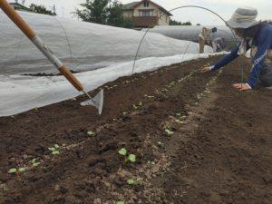 三角鎌の除草、草取り